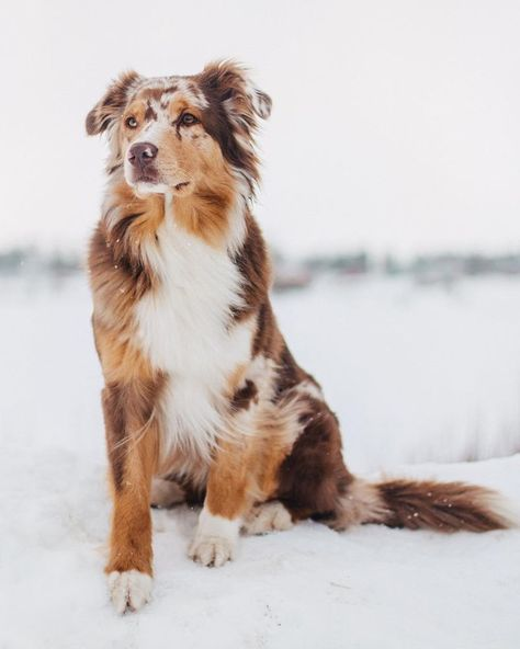 Australian Shepherd Dog Breed Information, Popular Pictures