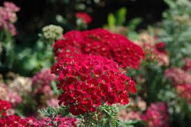 Image Result For Achillea Pomegranate