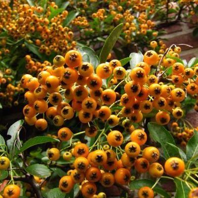 Vuurdoorn Pyracantha Soleil D Or Planten Ideeen Planten Klimplanten