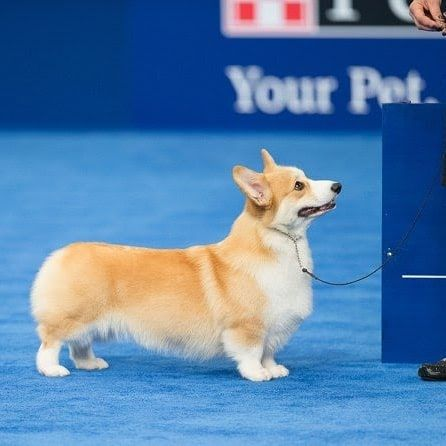 Congratulations To Bella The Corgi For Winning The Herding Group At The 2018 National Dog Show National Dog Show Corgi Dog Show