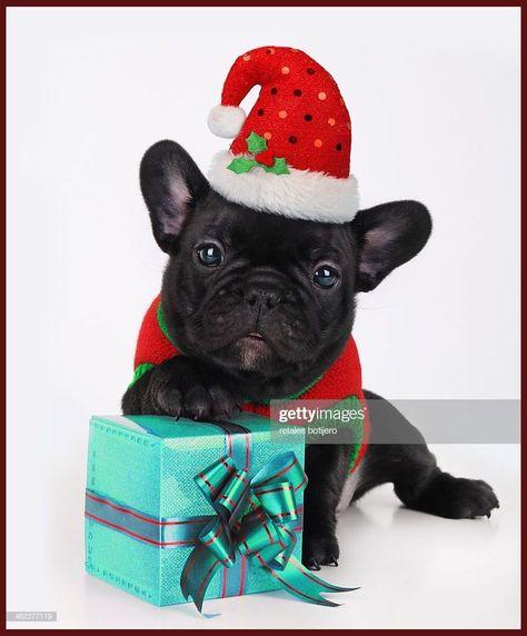 Pin On English Bulldog Puppies For Sale