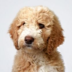 Oregon Bordoodles Border Collie Poodle Puppies With Images