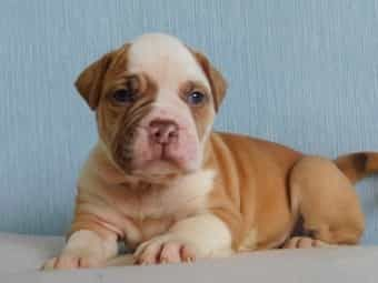 American Bulldog Und American Bulldog Welpen Kaufen Dhd24 Com Puppies For Sale The Puppy Store Saratoga Springs Utah In 2020 English Bulldog Dachshund Mix Puppy Store