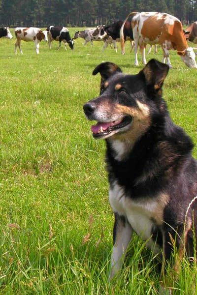 How To Train Your Dog To Herd Cattle Dogs Cattle Training Your Dog