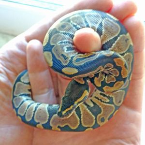 7 Pet Snakes That Stay Small Pet Snake Snake Snake Facts