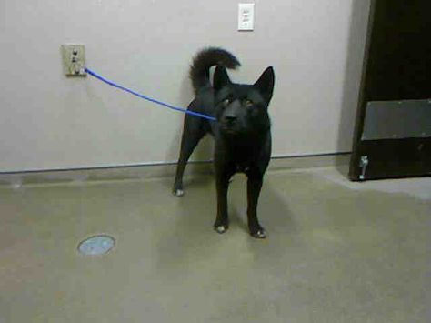 Grace Id A696771 Shelter Staff Named Me Grace Black Chow