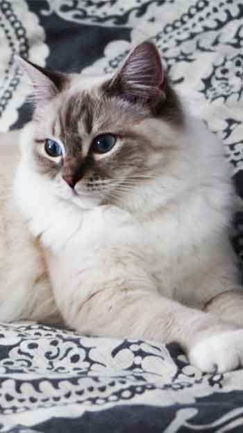 Ragdoll Cat Mobile Wallpaper Hd Free Download With Images