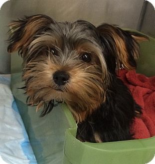 Pictures Of Tina A Yorkie Yorkshire Terrier For Adoption In New