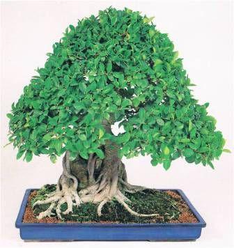 فيكس بانيان Plants