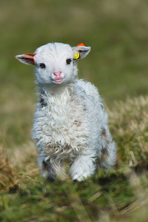 Lovely Lamb - wavy, curly fur, tiny little muzzle - so sweet.  Photo courtesy: Geir Magne Saetre