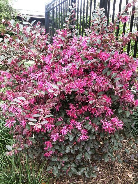 Larapetalum Or Chinese Fringe Bush Shrubs Garden Pretty Flowers
