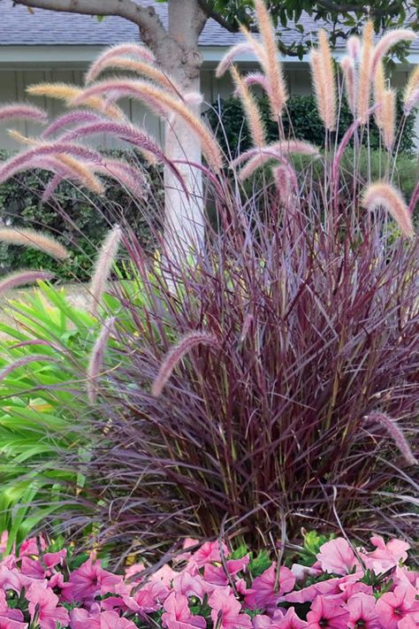 Monrovia's Purple Fountain Grass details and information. Learn more about Monrovia plants and best practices for best possible plant performance. Ornamental Grasses For Shade, Ornamental Grass Landscape, Landscape Curbing, Tall Grasses, Grasses For Pots, Landscape Grasses, Full Sun Landscaping, Front Yard Landscaping, Texas Landscaping