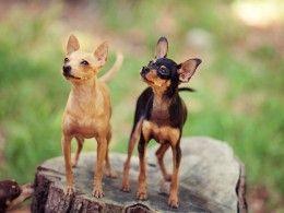 Russian Toy Terrier Russian Toy Terrier Terrier Dog Breeds Dog