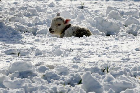 """""""A spring lamb is seen surrounded by heavy snowfall at Tow Law, England. Parts of Scotland and northern England have received 8 inches of snow, and 10,000 homes are without power in northeast England after wind brought down power cables."""" Scott Heppell/AP"""