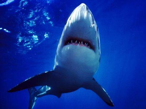 Shark wallpaper hd iphone hd wallpaper pinterest shark voltagebd Images