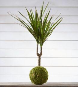 Quelles Plantes Choisir Pour Creer Des Kokedamas Le Kokedama Est Un Art Vegetal Japonais Qui Met En Valeur Vos Plantes D En 2020 Plante Verte Interieur Plante Yucca