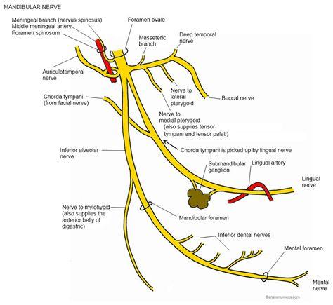 mandibular nerve - Google Search NEUROANATOMY Анатомия, Зубы