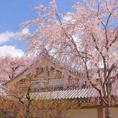 Photo Of Vherry Blossom In Japan Cherry Blossom Tour Japanese Sakura Travel Photos Display