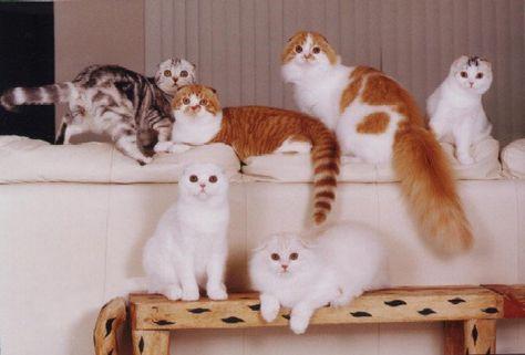 Scottish Fold Kittens For Sale Scottish Fold Kittens For Sale Dubai City Pets For Sale Pt39251