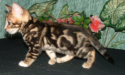 The Bengal Cat Den New Mexico Bengal Cats Kittens Breeders Bengal Cat Bengal Kitten Asian Leopard Cat