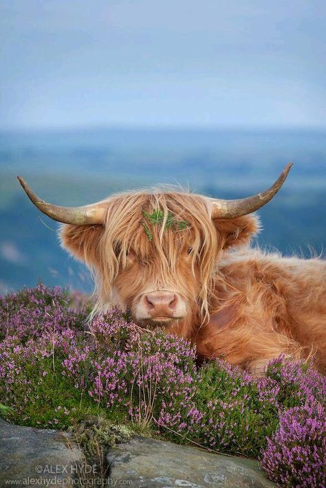 Highland cow in heather on Curbar Edge, Peak District National Park, Derbyshire. Highland cattle with flower in the hair. Farm Animals, Animals And Pets, Funny Animals, Cute Animals, Wild Animals, Scottish Highland Cow, Highland Cattle, Baby Highland Cow, Vida Animal