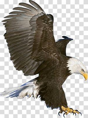 Bald Eagle Bald Eagle Eagle Transparent Background Png Clipart Bald Eagle Eagle Images Bald Eagle Art