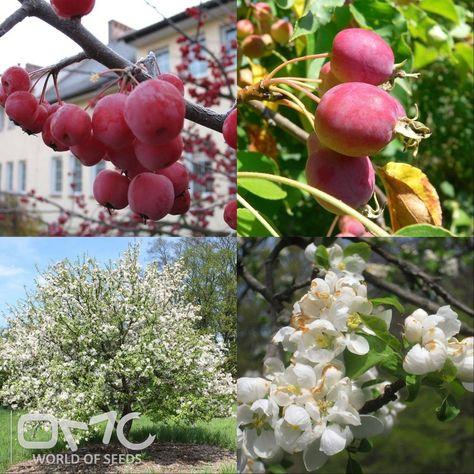 20 SEEDS CHINESE APPLE Malus Prunifolia
