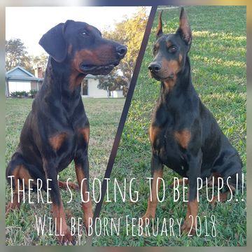 Doberman Pinscher Puppy For Sale In De Leon Springs Fl Adn 65061