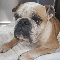 New York Ny English Bulldog Meet Bianca A Dog For Adoption