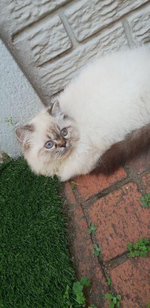 Female Persian Kitten Greyville Gumtree Classifieds South Africa 247650323 Kittens Persian Kittens Cats Kittens