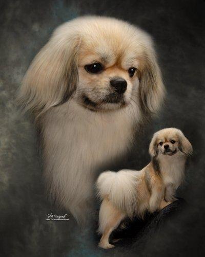 Paisleymama Spaniel Puppies Pekingese Puppies Tibetan Spaniel