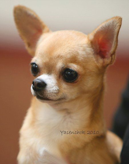 Pin By Virginia A Witman On Chihuahua Teacup Chihuahua Puppies