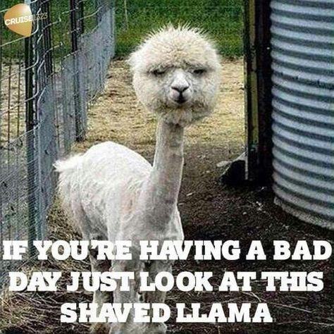 Funny picture of a llama with a shaved body and unshaved head that we found on Pinterest.