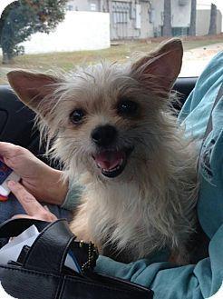 Metairie La Yorkie Yorkshire Terrier Dachshund Mix Meet Cayla