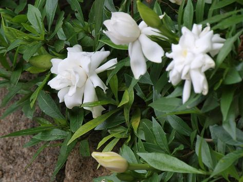 Best Known For Their Fragrant White Flowers Gardenias Are Heat
