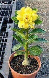 2 pcs 100% True Desert Rose plants Exotic Adenium Obesum plants Flower Bonsai plants Air Purification Home Garden Potted Flower