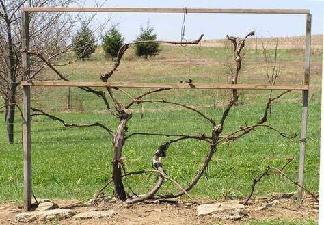 Pruning Grape Vines Step By Step With Pictures