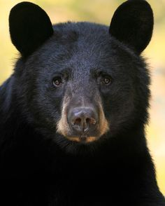 Windows To The Soul - The Ontario Spring Bear Hunt will be starting on May 1st. It breaks my heart and I have no idea how someone could look into the eyes of a bear like this and put a bullet in them. Shameful. Wild Black Bear Sow in Ontario