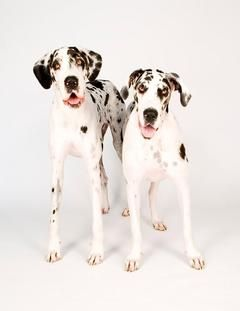 Austin Texas Usa Harlequin Great Danes Pets Dogs