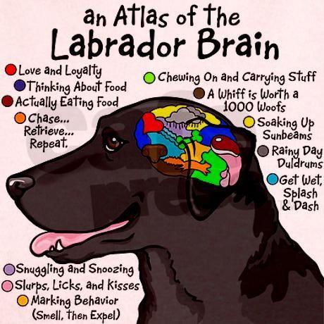 An Atlas Of The Labrador Brain Designed By Illustrator