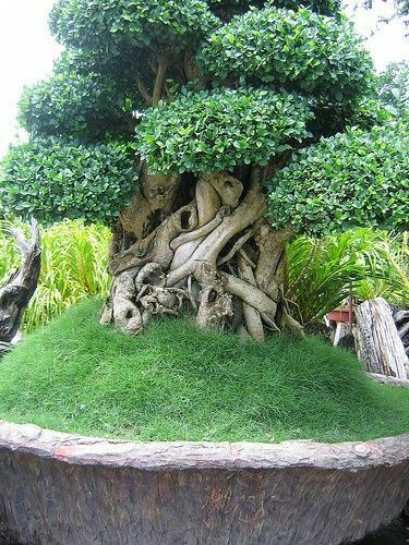"""In bonsai growing, the slanting style is one of several styles that are used to shape and """"train"""" the bonsai tree. Weird Trees, Plantas Bonsai, Unique Trees, Trees Beautiful, Old Trees, Tree Trunks, Nature Tree, Nature Nature, Bonsai Garden"""
