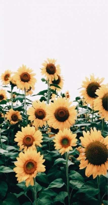 35 Trendy Flowers Summer Sunflowers Flowers Fondos De Flores
