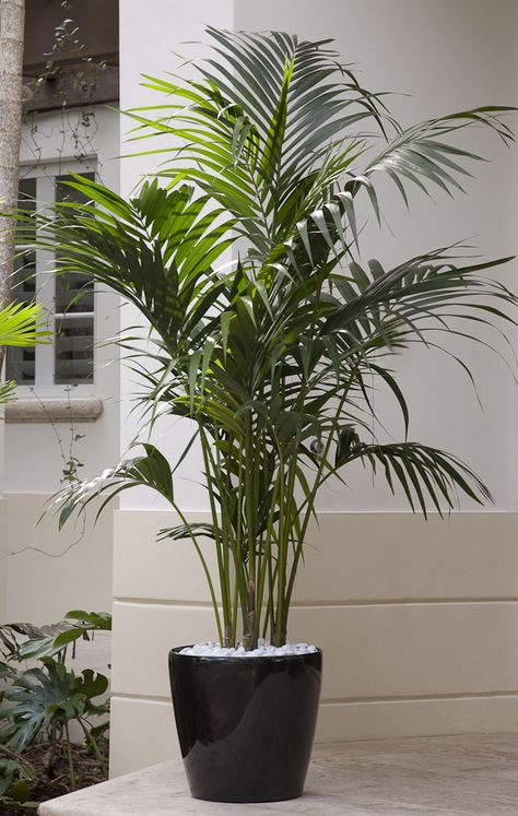 A premium plant! Kentia Palm is an elegant plant that eagerly thrives indoors yet grows relatively slowly so it can be enjoyed for many years. You'll regard this palm as a stylish addition to your room, adding lush color and graceful fronds.  Botanic name: Howea fosteriana Care tip: Kentia palms are colder tolerant than some other palms, and can thrive in cold dips to 10 degrees F.