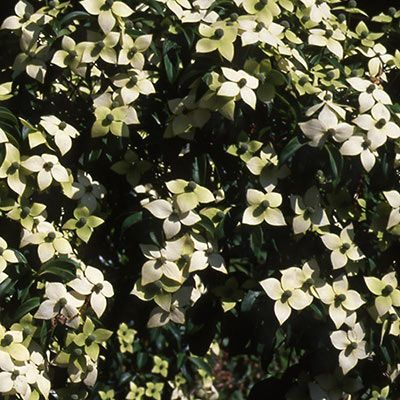 Empress Of China Evergreen Dogwood Trees Spring Hill Nurseries Dogwood Trees Evergreen Vines Shade Flowers