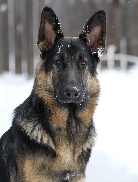 """German Shepherd """"Now what was that he was saying about me being 'just a dog'??? I'm a Shepherd---that is a HUMAN job isn't it?!!"""""""