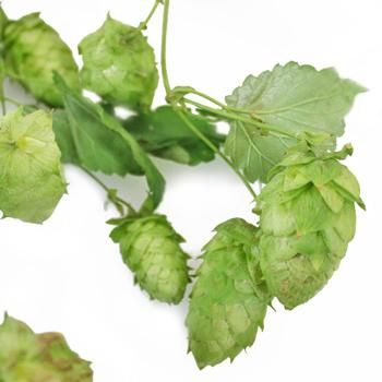 Brew yourself the perfect wedding batch by adding hops into your decor. Heaps of Hops Vine provides a full vine of clustered fresh, green buds to decorate your venue with. Shorten the length and place on banquet tables for added interest or remove the individual buds and fill up vases to the rim with the aromatic buds. Pair hops with greenery for the groomsmen boutonnieres and add in a bridal bouquet for a quenchable textured filler interest.