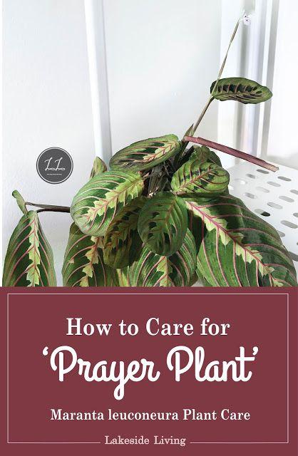 Prayer Plant Care Guide Prayer Plant Plant Care Prayer Plant Care