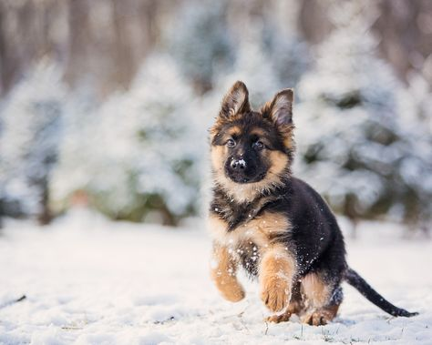 Check Out This Roundup Of Stunning Images Sold On Getty Images By 500px Photographers In This Ga Shepherd Puppies German Shepherd Puppies German Shepherd Dogs