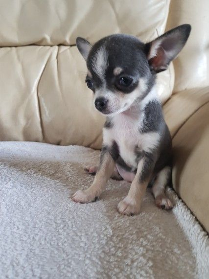 Female Blue Tri Smooth Coat Apple Head Chihuahua Apple Head