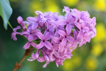 How To Grow Lilacs From Seeds Lilac Bushes Lilac Lilac Flowers